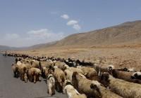 イランの羊たち 「マツコの知らない世界」で紹介しているペルシャ絨毯やギャッベはイランの山岳地帯で育った良質な羊の毛が使用されます
