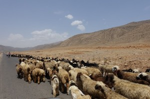 イランの羊たち ペルシャ絨毯やギャッベはイランの山岳地帯で育った良質な羊の毛が使用されます