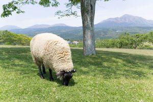 草を食む羊