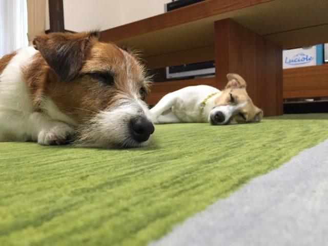 ハグみじゅうたんの上でくつろぐ犬たち