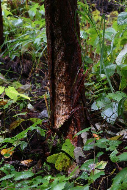 くまはぎにあった杉の木