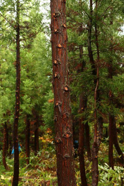 枝打ちが終わった杉の木