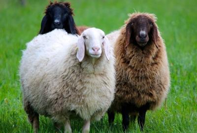 毛の色が違う3匹の羊