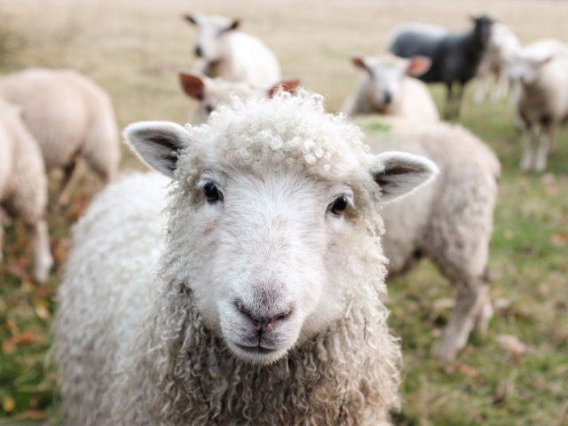 頑張って生きる羊たち