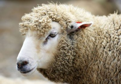 羊(ウール)