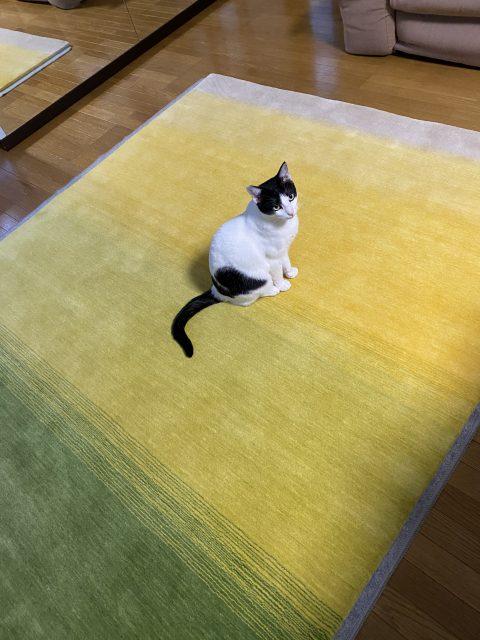 ハグみじゅうたんと猫