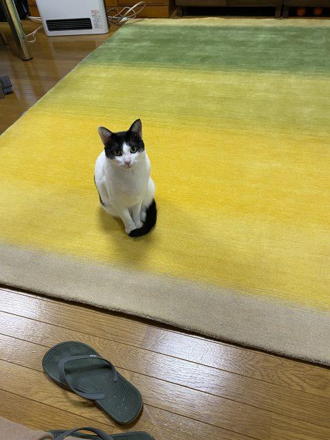 ハグみじゅうたんに猫が座っている